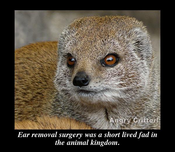 Mongoose ear