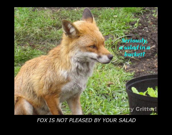 fox salad