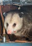 Possum sm1