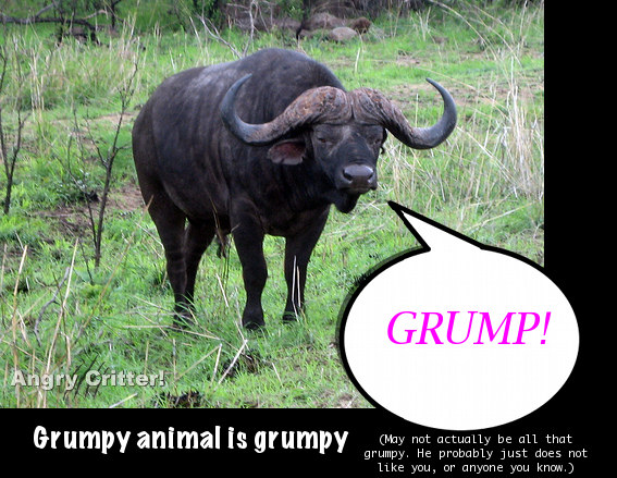 african buffalo grump