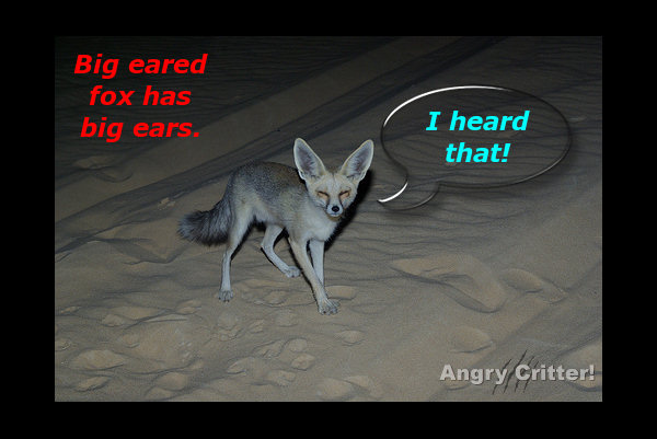 big ear fox