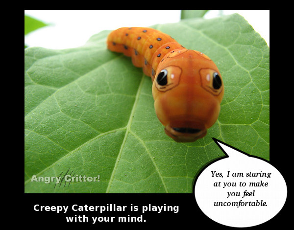 orange caterpillar stare