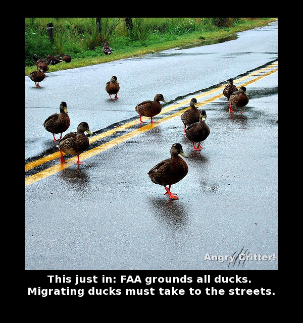 Ducks road migrate