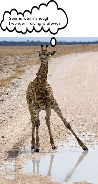 Giraffe dive