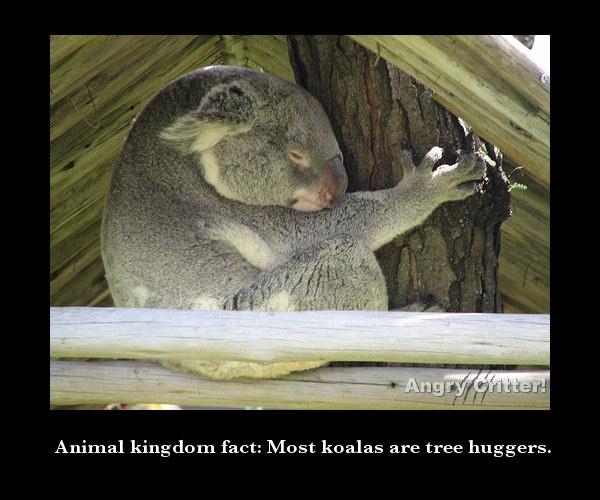Koala 1 fact